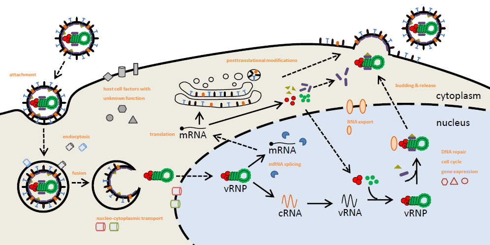 Figure 1: Influenza virus life cycle and potential host cell interaction partners.  During the first step of influenza virus infection, the viral surface glycoprotein HA binds to host cell surface receptors and gets internalized through endocytosis. The low pH in late endosomes triggers a conformational change in the HA protein, leading to the fusion of the viral envelope and endosomal membranes, thereby releasing the viral ribonucleoprotein complexes (vRNPs) into the cytoplasm. vRNPs are subsequently transported into the nucleus, where mRNA transcription and vRNA replication occur. In the next step viral pre-mRNAs become spliced by host cell factors and translocated back into the cytoplasm for translation. After post-translational modifications of certain viral proteins, the structural components of the viral particle are transported to the plasma membrane where assembly and budding take place. To identify cellular key players in influenza virus replication, several siRNA screens where performed. The validations of some identified gene candidates could already confirm the strong dependency of influenza virus on host cell factors during most steps of the viral life cycle [2].