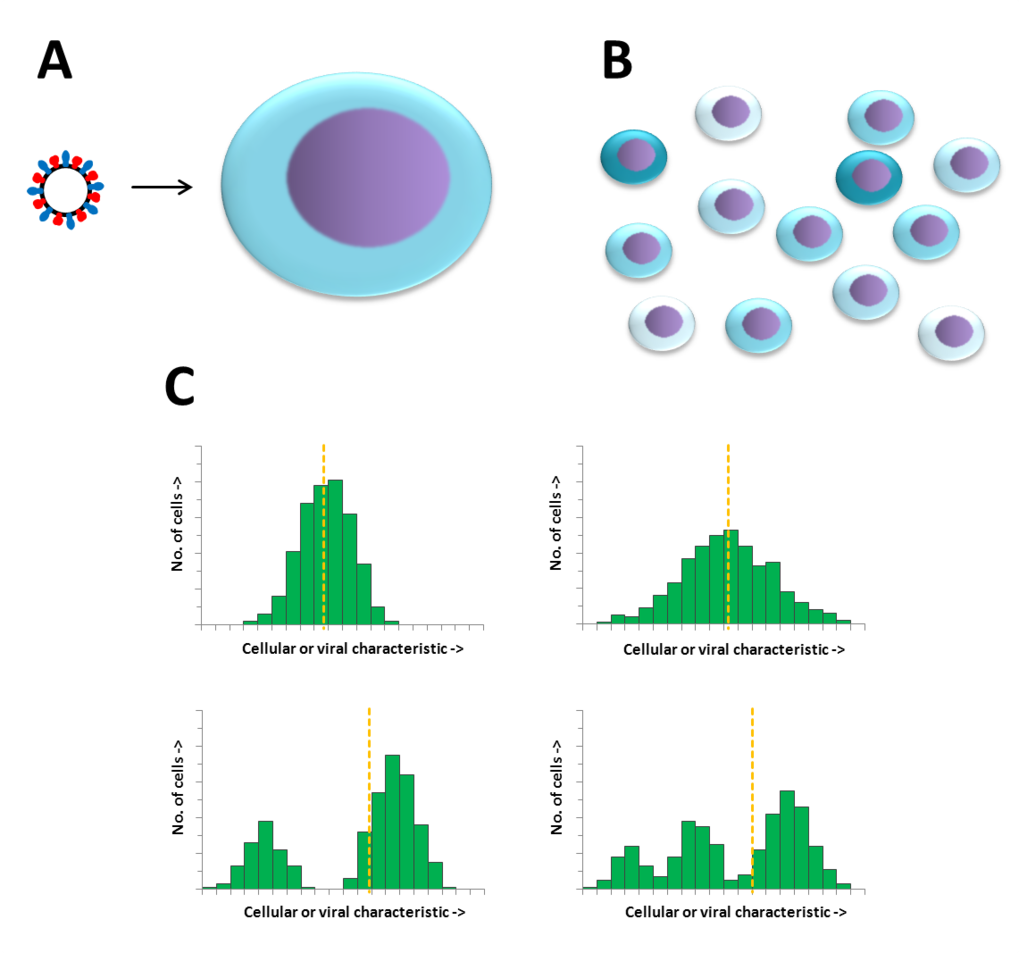 Figure: Single Cell Analysis. Due to the heterogeneity existent in cellular and viral populations, the infection of a single cell with a single virus particle (A) leads to significant differences in outcome of virus infections among single infected cells (B). Measuring cell populations yields solely averaged cellular or viral-derived characteristics, masking how these characteristics are distributed (C). Thus, the analysis of single cells allows the characterization of various cellular events or even the detection of rare subpopulations, which can have a profound impact in the long-term behavior of a population.