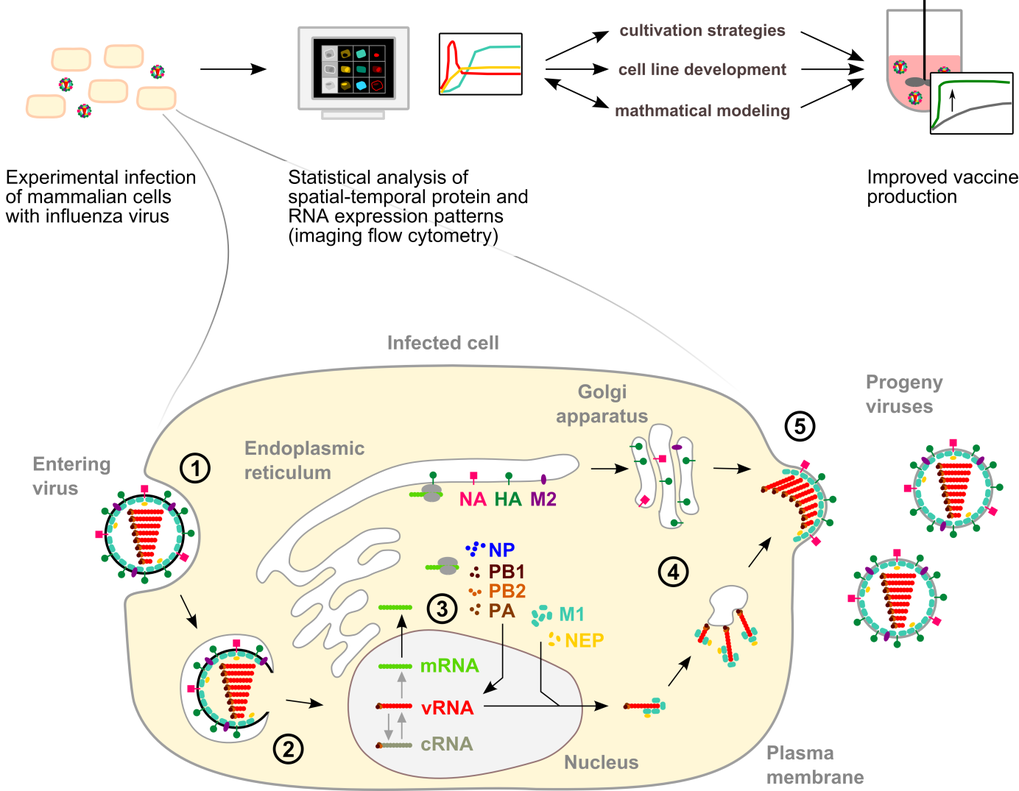 Figure 1: Image analysis of influenza virus replication in animal cells to improve vaccine production. To identify limitations of influenza vaccine production in animal cell cultures, we investigate influenza virus replication at the cellular and the molecular level. Influenza virus replication occurs in the following regulated steps (1) virus uptake into the cell, (2) virus uncoating and release of the viral genome (vRNA), (3) viral protein synthesis and vRNA replication (4) transport of viral proteins and vRNA to the plasma membrane, and (5) virus assembly and release from the cell surface. The efficiency of influenza virus production largely depends on the capacity of the host cell to support viral replication. Therefore, we analyze the temporal-spatial expression and distribution of host cell and viral components to identify replication patterns and dynamics in highly productive cells. The results will contribute to the design of high-yield cell lines and cultivation strategies for influenza vaccine production.   Abbreviations: cRNA, complementary RNA; HA, hemagglutinin; M1, matrix protein 1; M2, matrix protein 2; mRNA, messenger RNA; NA, neuraminidase; NP, nucleoprotein; NEP, nuclear export protein; PA, RNA polymerase subunit (acidic); PB1, RNA polymerase subunit 1 (basic); PB2, polymerase subunit 2 (basic); vRNA, viral RNA (genome)