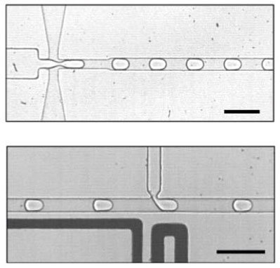 Cells made from water in oil: Using microfluidics technology, a Franco-German research team first generates tiny droplets (top) into which the components of a simple metabolism are then injected (bottom). The bar corresponds to 100 micrometers.