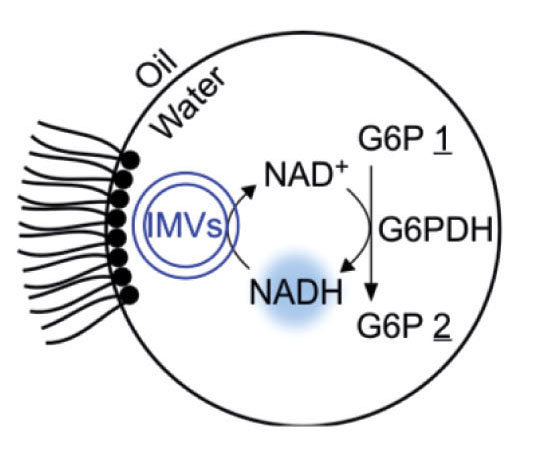 A rudimentary metabolism: In a water drop stabilized by a surfactant in oil, glucose phosphate (G6P 1) is oxidized to a lactone (G6P 2) by means of a dehydrogenase enzyme (G6PDH). The reaction is driven by the conversion of NAD+ to NADH, which is subsequently recycled by inverted membrane vesicles (IMVs).