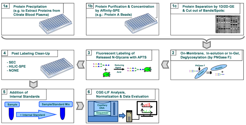 Workflow of high-throughput glycosylation pattern analysis of glycoproteins utilizing a multiplexing capillary-DNA-sequencer.